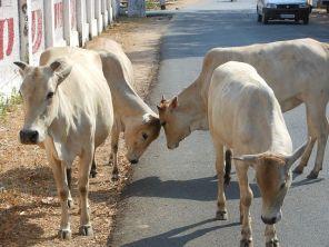 hindu-cattle